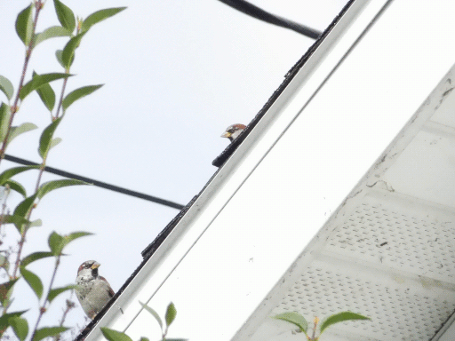 slanted scene of sparrows peeking from roof