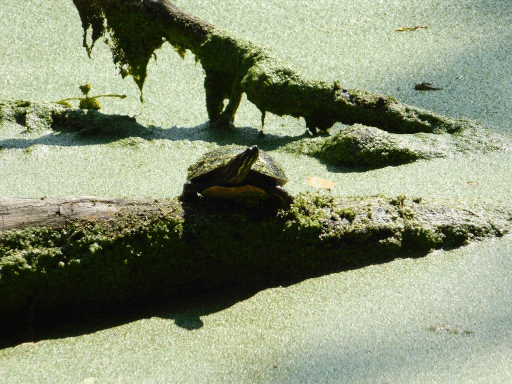 single turtle- all drenched in duckweed and sun