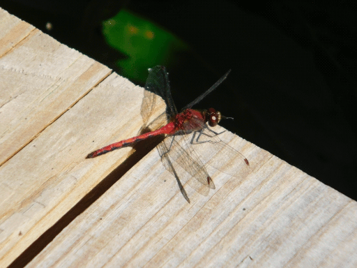 red dragonfly on edge of boardwalk