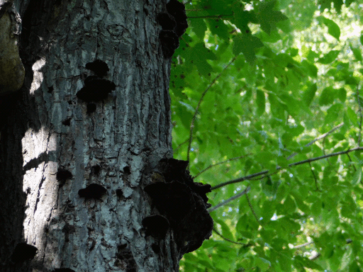 fungal growths on tree trunk (left)
