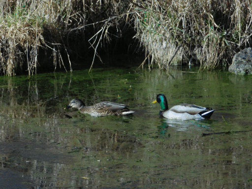 pair o' mallards. color grading recalls the 70s for some reason
